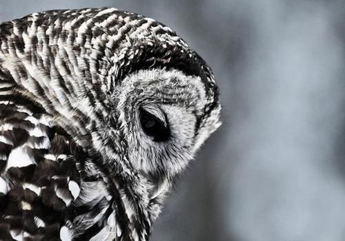 It sees what you do...: Animals, Grey Beautiful, Beautiful Owl, Wise Owl, Whooo Owl, Birds, Snowy Owl, Beautiful Creatures, Furry Friends