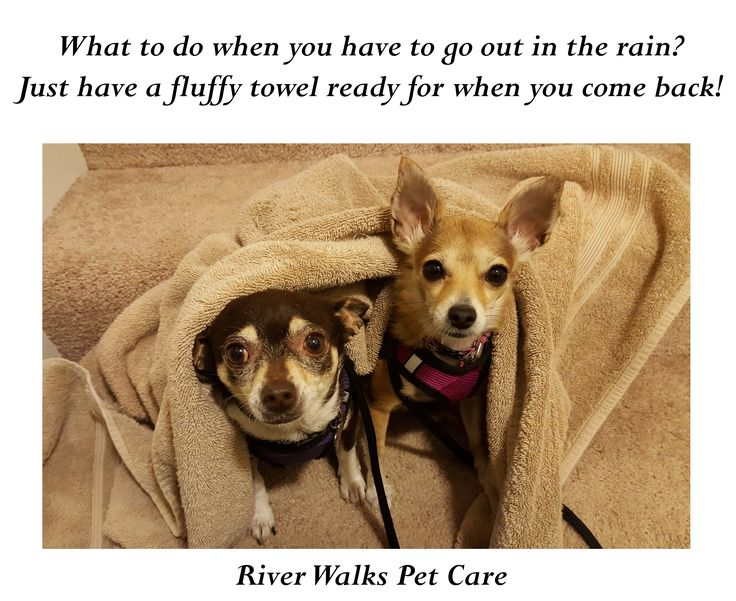 It's not their favorite weather, but they tough it out :)  #chihuahuas #cute #dogs #rainydays #dogwalking