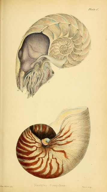 Nautilus by BioDivLibrary,1846-1849. #shells #scientific #illustration