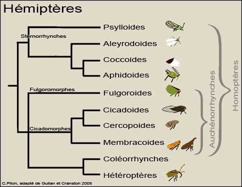 Les Hémiptères forment un groupe d'insectes plutôt hétérogène. En effet, les variantes de formes, de couleurs, de tailles ou de cycles de vie sont considérables d'un groupe à l'autre.  L'élément commun aux Hémiptères et qui les distingue des autres groupes d'insectes est la morphologie unique de ses pièces buccales:  Une des classifications récentes correspond à celle illustrée par le cladogramme ci-dessus, qui est une adaptation de celui publié dans The Insects: An Outline of Entomology.