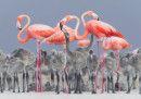 Continua il successo dei fenicotteri rosa