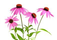 Echinacea purpurea plant Royalty Free Stock Photo