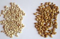 Barley | Gothumai - Pearled Barley vs. Hulled Barley