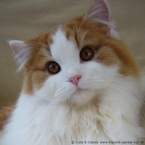 Classic persian cat  #cats #katte #killinger