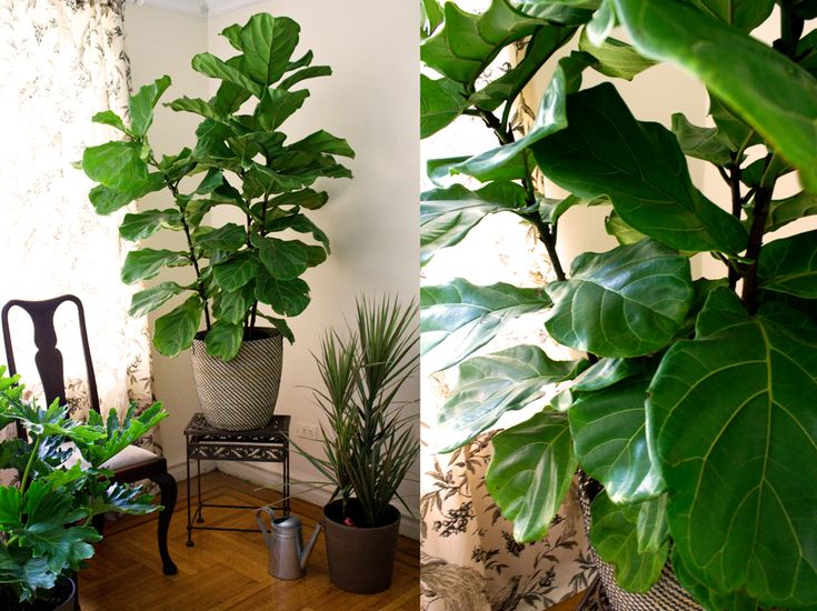 brooklyn plantology partnered with their talented friends at decorilla on this post about the ever enduring fiddle leaf figplant careeasy - Fiddle Leaf Fig Tree Care