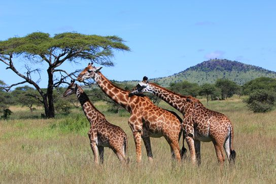 Giraffe herd, Serengeti National Park, Tanzania