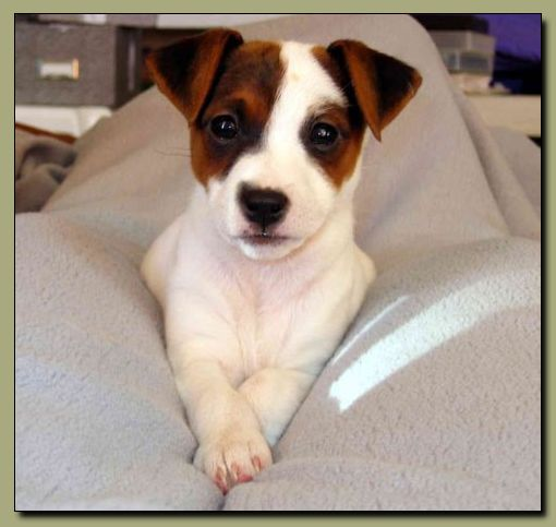 Jack Russell Terrier Chihuahua Mix  Looks like my Petunia only she is black and white.