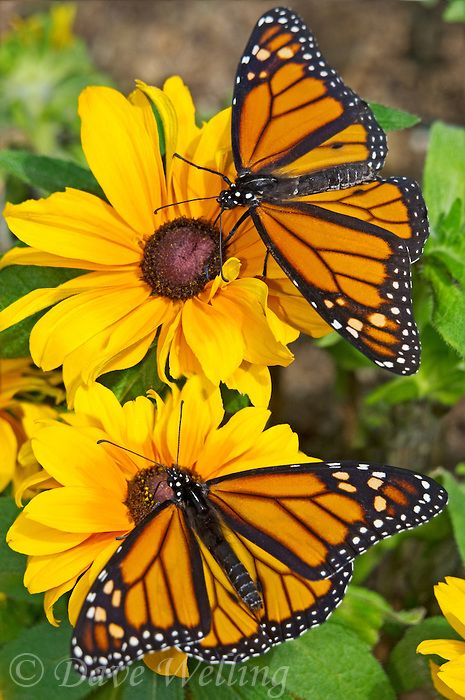 ~Two monarch butterflies [danus plexippus] perches on a flower~