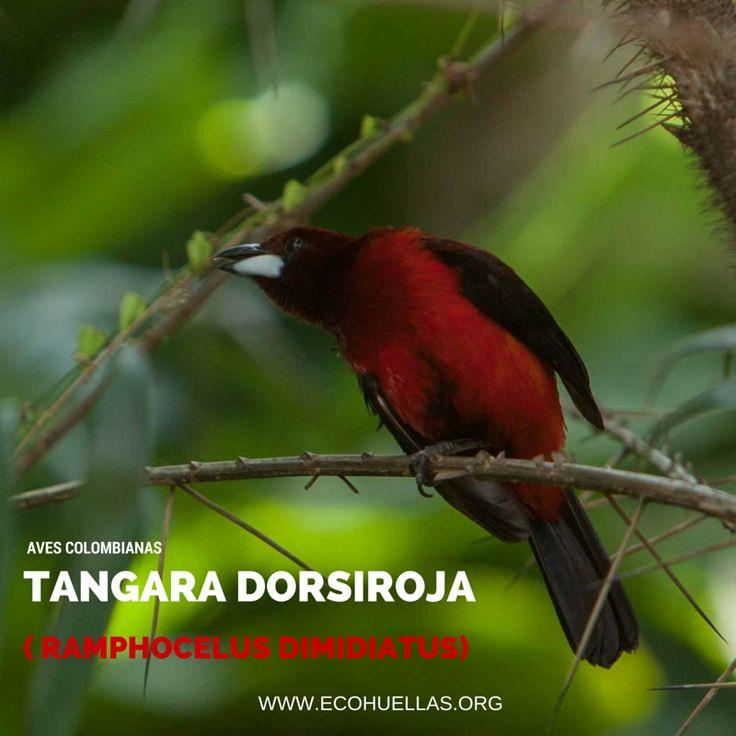 Tangara Dorsiroja,  David Osorio L & Rafael Rincón   Aviario Nacional De Colombia  #EcoHuellas #EcoCielo #AvesColombianas