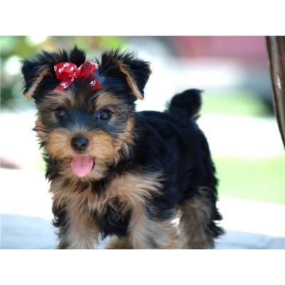 This is what my Yorkie Chloe looked like as a pup! So precious!