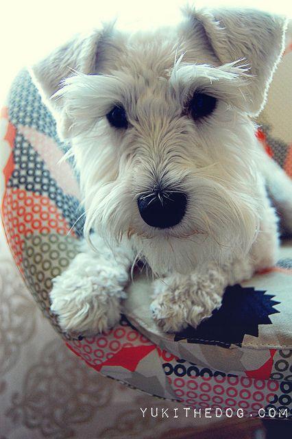 White Miniature Schnauzer relaxing such a...