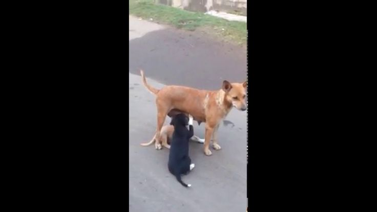 Mother dog breast feeding her  puppies in the street