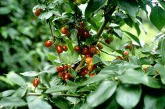 Cornus mas Cornelian Cherry, Cornelian Cherry Dogwood