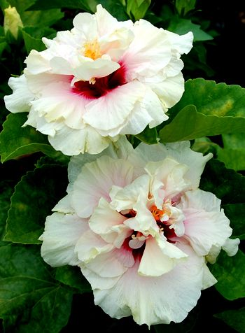 Hibiscus 'High Heaven'
