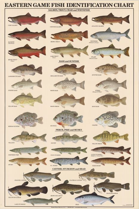 Eastern game fish identification posters 426 park ave for Freshwater fish chart