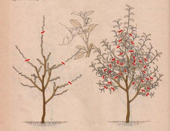 обрезка яблони на 3 год