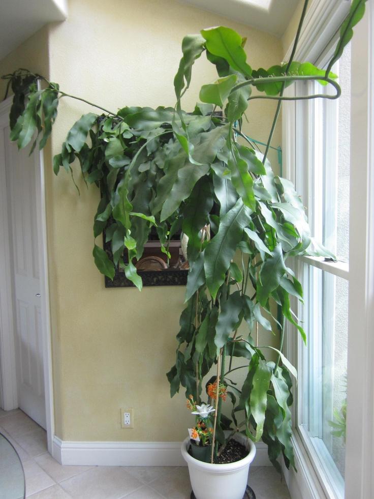 Plant Before Flowering Epiphyllum Oxypetalum Pinterest