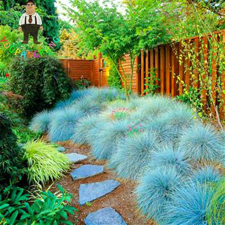 100 Graines Blue Fescue Grass Seeds Indoor Garden Festuca Glauca Perennial Hardy Ornamental Plants Easy To Grow Seed * Sementes