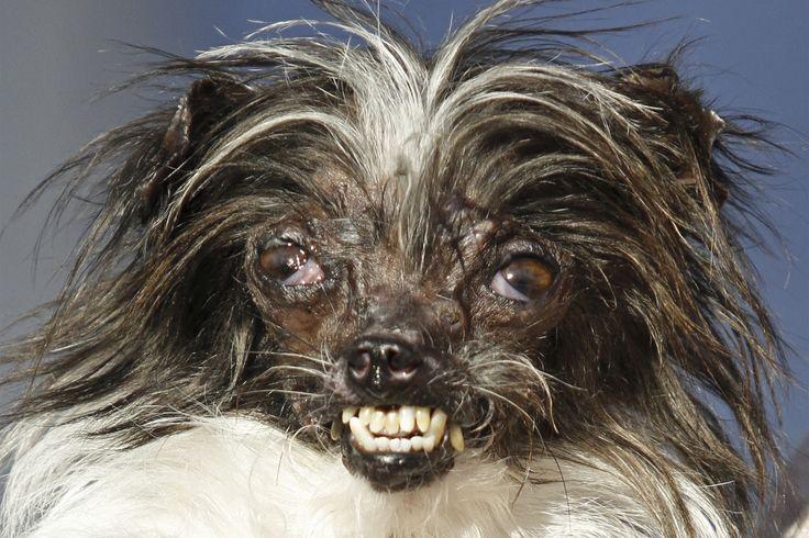 "World's Ugliest Dog Contest wants to celebrate inner beauty Sitemize ""World's Ugliest Dog Contest wants to celebrate inner beauty"" konusu eklenmiştir. Detaylar için ziyaret ediniz. http://www.xjs.us/worlds-ugliest-dog-contest-wants-to-celebrate-inner-beauty.html"