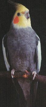 The Normal Grey Cockatiel