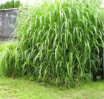 gräs (elefantgräs)