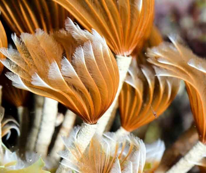 Feather Duster Worm Care Placement Feeding Quick Facts Feather Duster Worms For Sale Worms