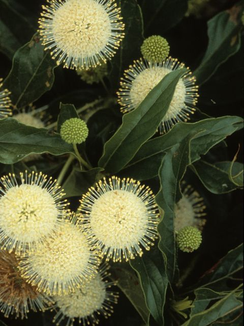 Common buttonbush (Cephalanthus occidentalis) - Tiny, tubular, 5 lobed, fragrant white flowers appear in dense, spherical, long-stalked flower heads. Long, projecting styles give the flower heads a distinctively pincushion-like appearance.