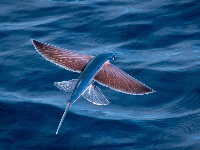 238 best fish images on pinterest animals ocean life and marine flying fish can be seen jumping out of warm ocean waters worldwide their streamlined torpedo shape helps them gather enough underwater speed to break the sciox Choice Image