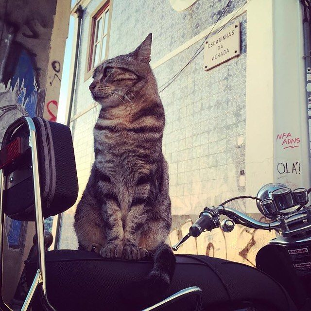 Take me for a ride human. #BossCat #bestfriends #catstagram #gato #cat #instapets #catsofinstagram #catlover #instacats #happy #catlife #textgram #sexycurve #kitty #pose #lifestyle