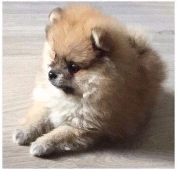 Pomeranian puppy, pom, pomi, pomerania