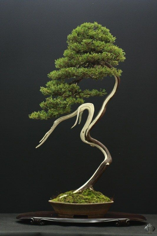 Balancing crane or ballet dancer about to prance … Juniper Bonsai, Literati style (Bunjingi).
