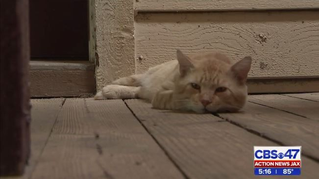 Two cats shot with pellet gun at Jacksonville apartment complex, resident says