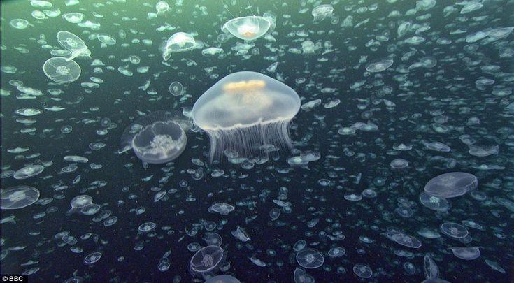 Aurella jellyfish.