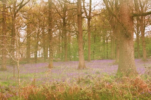 Bluebell woods   Blickling Hall   Aylsham #nationaltrust