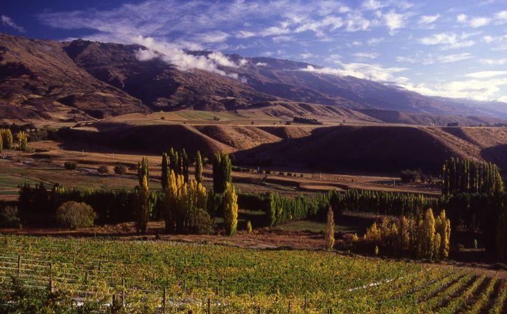 Vineyards in Cromwell basin