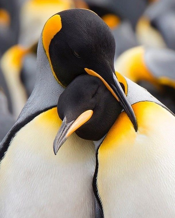Penguin Snuggles The Great Out Doors Animals Beautiful