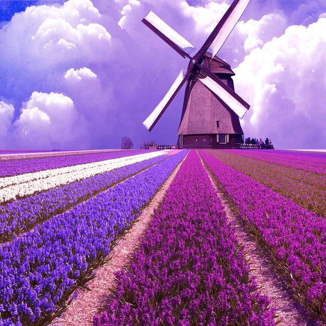 حقل الخزامى صور الطبيعة السماء الخلفية Dutch Windmills Windmill Diamond Painting