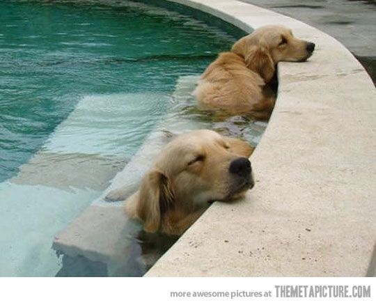 ..: Pools Time, Cooloff, Hot Summer Day, Dogs Day, Naps Time, Happy Dogs, Hot Day, Dogs Life, Golden Retriever