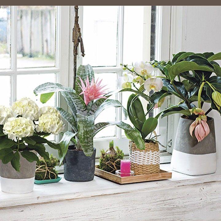 Mooi tafereel op de vensterbank planten vensterbank intratuin medinilla pinterest - Decoratie binnen veranda ...