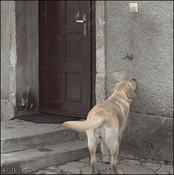 This labrador who knows how to ring the bell to come back inside.