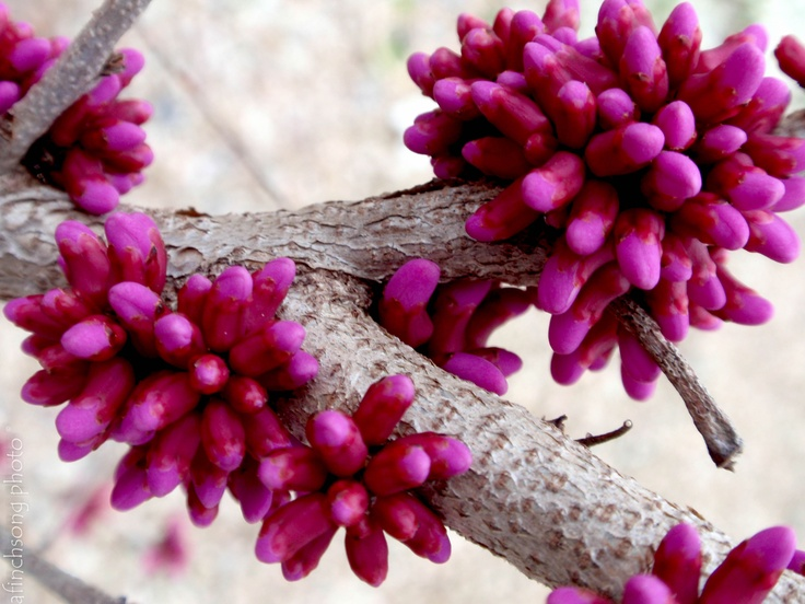 The 525 best tree beauty images on pinterest flowering trees cercis chinensis don egolf don egolf chinese redbud deciduous flowering mightylinksfo