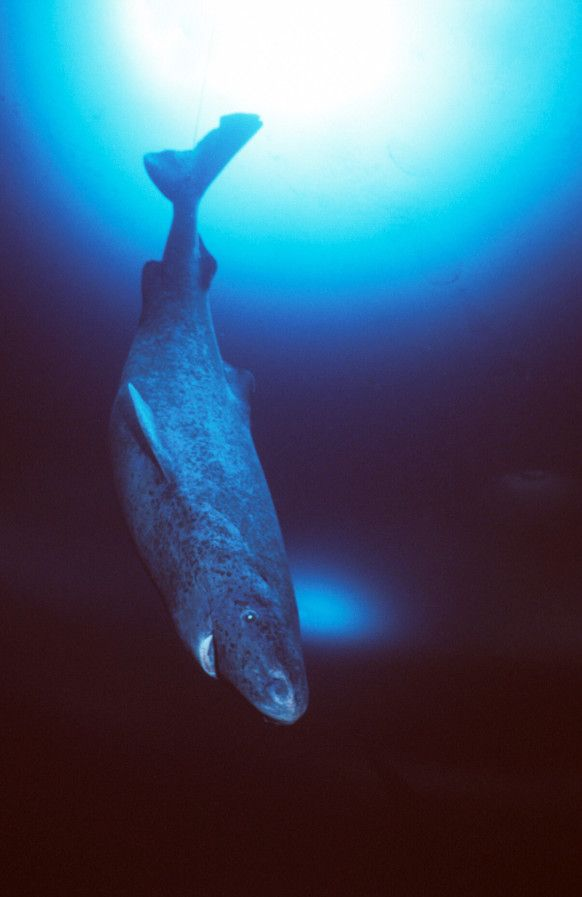 Greenland Shark possibly the creature said to be Lochness Monster.