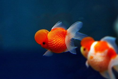 pearlscale goldfish | Tumblr