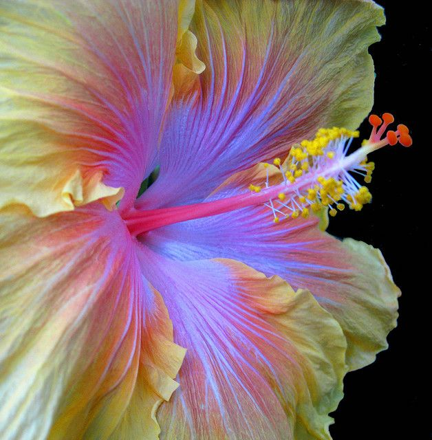 This gorgeous flower is The Path hibiscus.  It is by far my favorite flower.