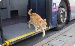 Gato ingles viaje en autobús todos los días - LindosMininos