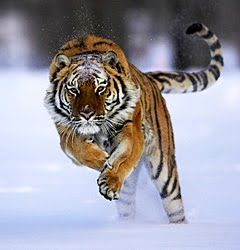 A few days ago, the Wildlife Conservation Society released a report that shows the last remaining population of Siberian Tigers has declined significantly, due to poaching and habitat loss. The 12 year average showed a 40% decline.    In the late 40's only 30 of these magnificent cats were known, and the population had recovered to 500 animals by 2005. However, in the past 4 years a trend of declining tigers has been noticed.