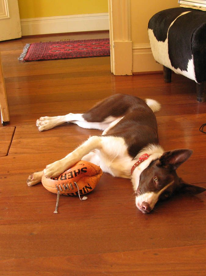 Please come play ball with me - Australian Border Collie and Kelpie cross