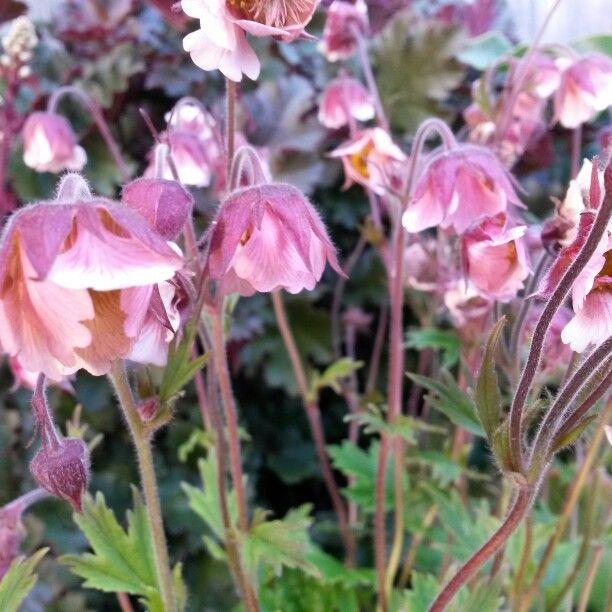 """Water Avens """"Pink Frills""""  (Geum rivale), likes ready watering and no competition in its spot in the garden (a bit of a princess but well worth the reward of masses of repeat flowers)."""