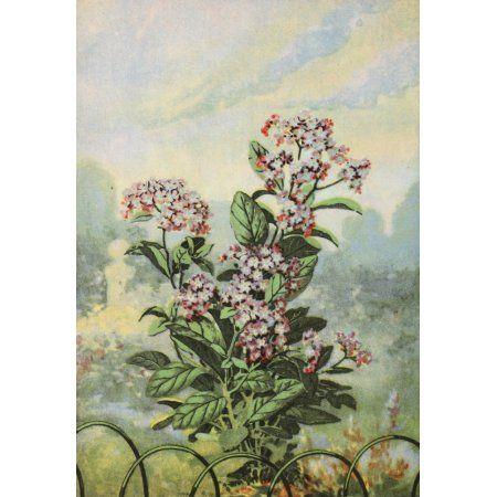 Garden Flowers 1926 Heliotrope Canvas Art - Myron Van Brunt (18 x 24)