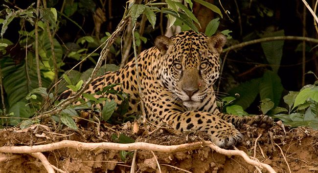 With one solitary jaguar back in the U.S., plenty of available jaguar habitat, and plans in the works to move jaguar conservation forward, could we soon see a real return of this long-absent native species?